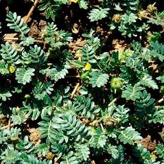 Plant form: Tribulus terrestris. ~ By John Randall. ~ Copyright © 2021 CC BY-NC 3.0. ~  ~ Bugwood - www.bugwood.org/