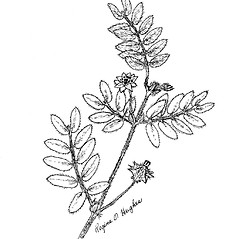 Leaves: Tribulus terrestris. ~ By Regina O. Hughes. ~  Public Domain. ~  ~ Reed, C.F. 1970. Selected weeds of the United States. USDA Agric. Res. Ser. Agric. Handbook 336